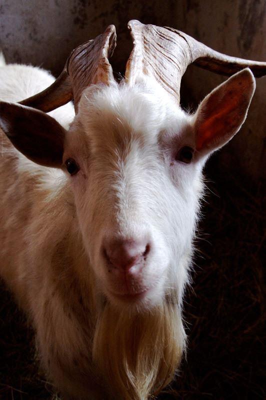 Агротуризм: коза на ферме - база Чудское подворье